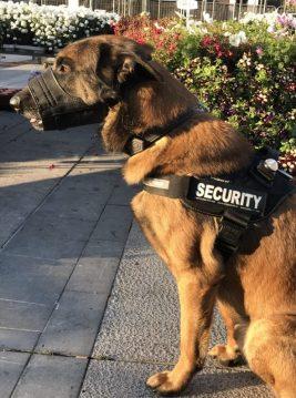 Agent de gardiennage cynophile Maitre chien